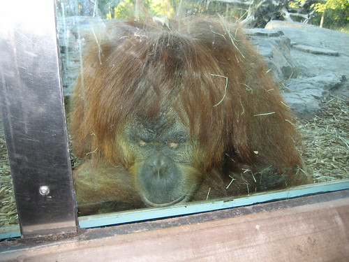 orangutan, ape, red, hairy, simian, mammal,… IMG_0612.JPG