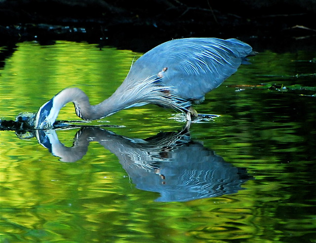 Great blue heron fishing 2 jerico marsh explore patrick for Blue marsh lake fishing