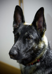 puppy(0.0), czechoslovakian wolfdog(0.0), norwegian elkhound(0.0), wolfdog(0.0), dog breed(1.0), german shepherd dog(1.0), animal(1.0), dog(1.0), dutch shepherd dog(1.0), pet(1.0), tervuren(1.0), close-up(1.0), saarloos wolfdog(1.0), east-european shepherd(1.0), shiloh shepherd dog(1.0), carnivoran(1.0),