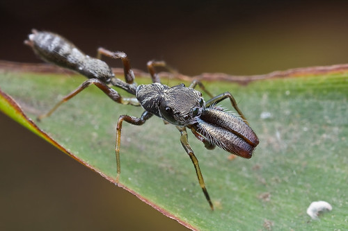 A male Myrmarachne sp. ant-mimic jumping spider IMG_7728 copy