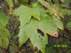 shrub(0.0), flower(0.0), tree(0.0), autumn(0.0), deciduous(1.0), branch(1.0), leaf(1.0), plant(1.0), grape leaves(1.0), green(1.0), maple leaf(1.0),