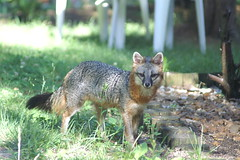 dhole(0.0), animal(1.0), mammal(1.0), jackal(1.0), grey fox(1.0), fauna(1.0), red fox(1.0), kit fox(1.0), wildlife(1.0),