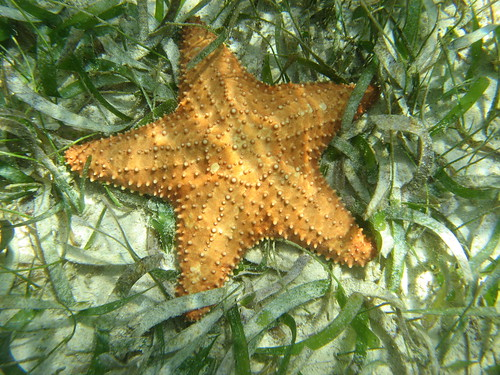 Oreaster sea star with the right number of arms