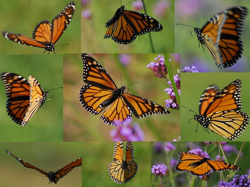 Butterfly Flight Montage