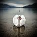 Swan 01 by dk73