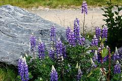 flower, lilac, lavender, wildflower, flora, meadow, bluebonnet,
