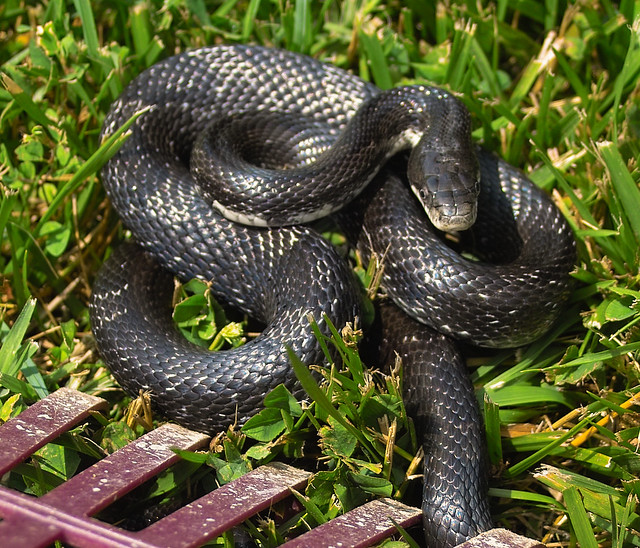 SNAKE in back yard | Flickr - Photo Sharing!