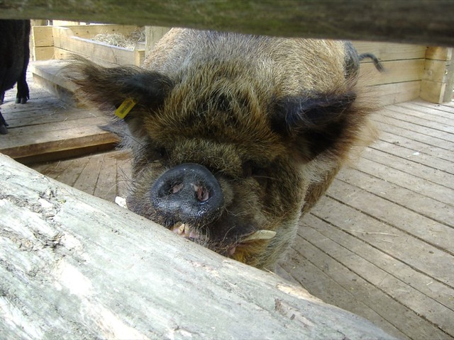 Ugliest Pig In The World World's Ugliest Pig | ...