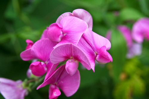 Lathyrus odoratus, Courtesy of Flickr CC/Steven Depolo