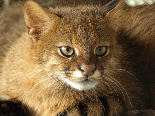 Leopardus colocolo 1