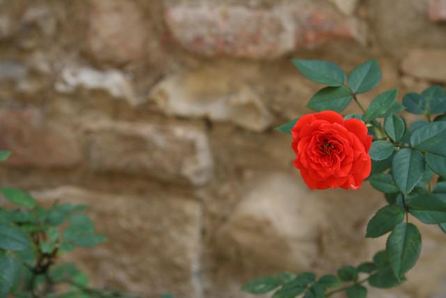 Rosy Tuscany