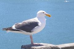 San Francisco Sea Gull