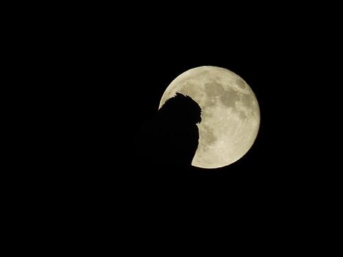 HORNED OWL MOON flt DSC0058