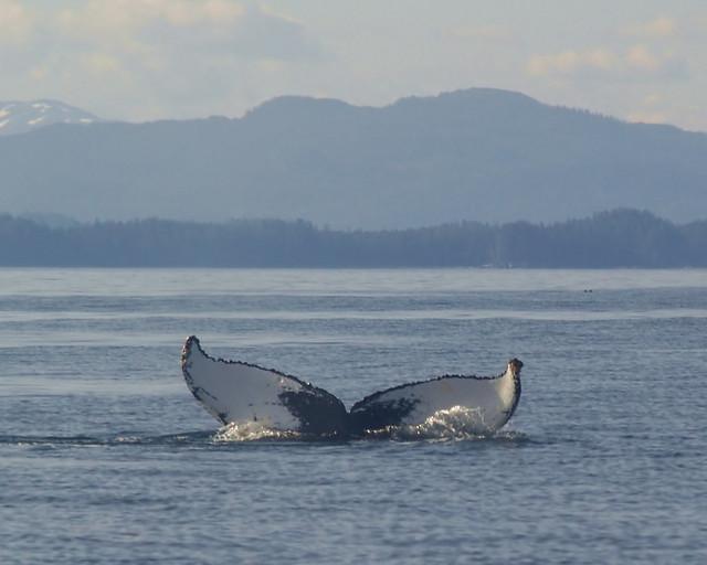 Whale fluke II.