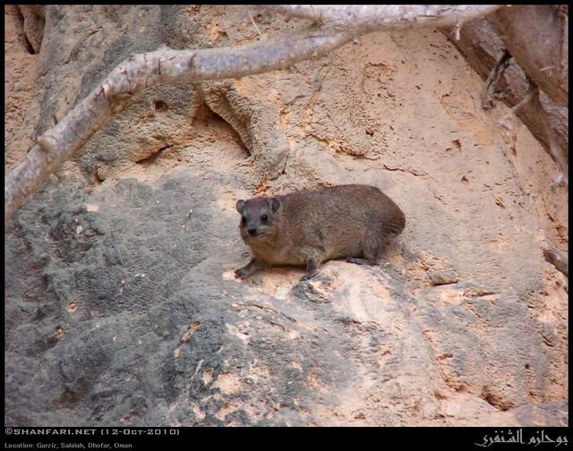 Arabian Rock Hyrax in Garziz, Salalah, Dhofar