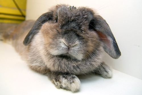 pet tiara rabbit bunny animal mammal singapore crown opal 兔 hollandlop andora 兎 lagomorph opalhollandlop princessandora