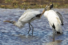 animal, wing, fauna, ciconiiformes, pelecaniformes, shorebird, beak, ibis, bird, wildlife,