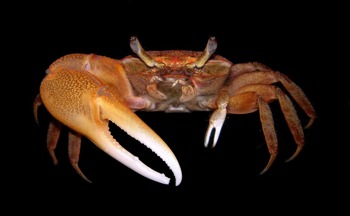 Fantastisch King Crab Anatomy Galerie Anatomie Von Menschlichen