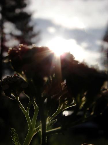sun flower macro nature closeup sunrise sunny sillouette