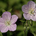 spotted geranium - Photo (c) Jim Frazier, some rights reserved (CC BY-NC-ND)