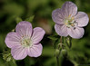 Geraniums - Photo (c) Jim Frazier, some rights reserved (CC BY-NC-ND)