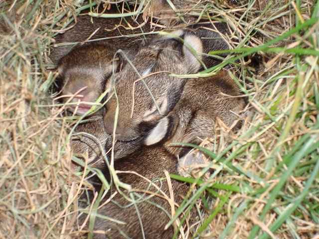 Baby bunnies in the yard | Flickr - Photo Sharing!