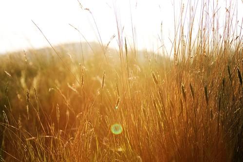 sunset sun wheat overexposed overblown sunflares ©tylerknottgregson