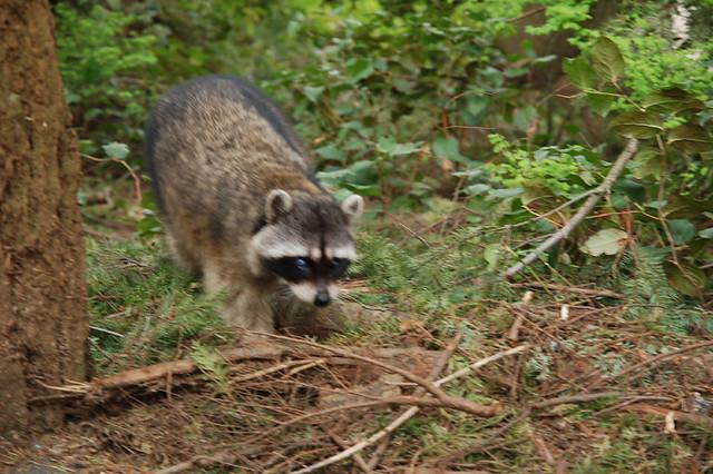 Rabid Raccoon | Flickr - Photo Sharing! Raccoon With Rabies Foaming