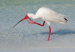 stork(0.0), white stork(0.0), stilt(0.0), spoonbill(0.0), egret(0.0), animal(1.0), wing(1.0), fauna(1.0), ciconiiformes(1.0), beak(1.0), ibis(1.0), bird(1.0),