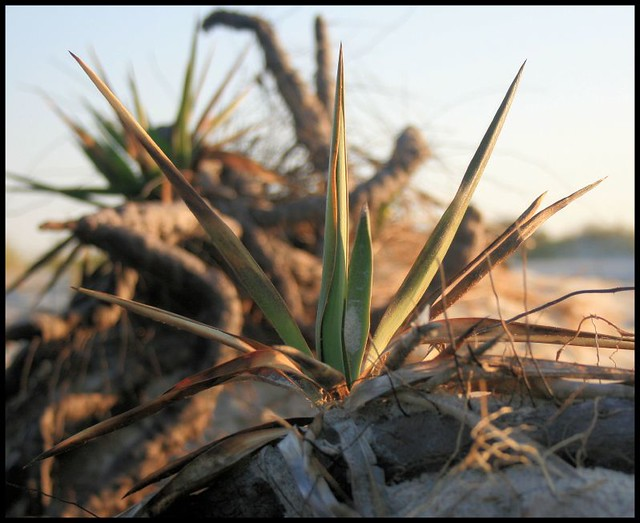 Jekyll Plant Life Yucca Type Air Plants Growing On