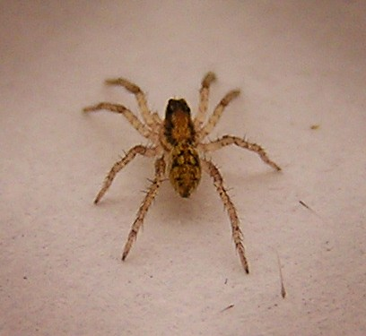 Baby wolf spider | This is the baby wolf spider. I managed ...