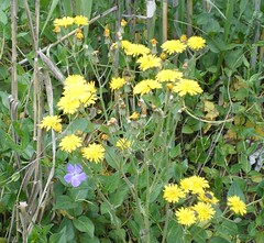 mustard(0.0), common tansy(0.0), hypericum(0.0), annual plant(1.0), jacobaea vulgaris(1.0), flower(1.0), yellow(1.0), plant(1.0), sow thistles(1.0), flatweed(1.0), subshrub(1.0), herb(1.0), wildflower(1.0), flora(1.0), meadow(1.0),