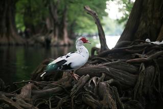 rooster x duck hybrid = dooster hehe