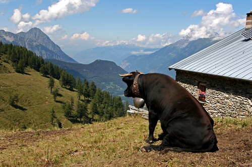 Sitting Swiss Cow