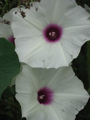 malva(0.0), chinese hibiscus(0.0), annual plant(1.0), ipomoea violacea(1.0), flower(1.0), ipomoea alba(1.0), macro photography(1.0), flora(1.0), petal(1.0),