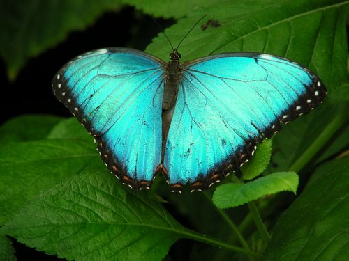 Butterfly at brookside gardens flickr photo sharing - Common Morpho Butterfly Flickr Photo Sharing