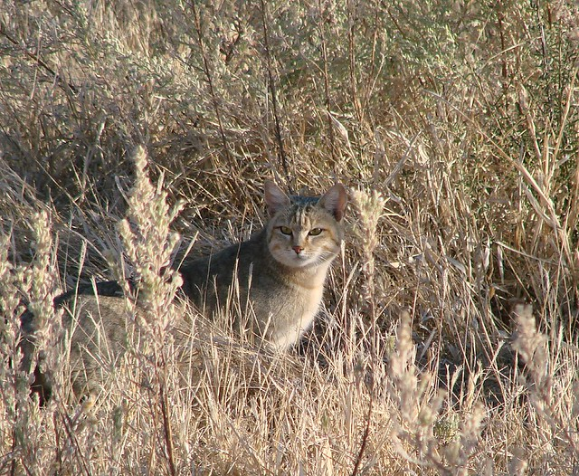 an african wildcat (really)