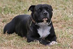 dog breed, animal, dog, pet, american pit bull terrier, guard dog, carnivoran, staffordshire bull terrier,