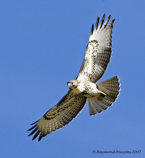 Recent Photos The Commons Getty Collection Galleries World Map App    Juvenile Red Tailed Hawk Identification