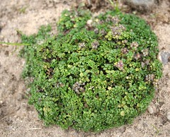 småbladet timian - thymus praecox minor