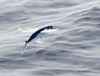 Flying Fishes - Photo (c) Patrick Coin, some rights reserved (CC BY-NC-SA)