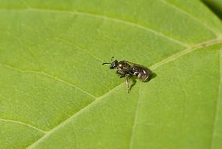 Sweat Bee - Lasioglossum species, female