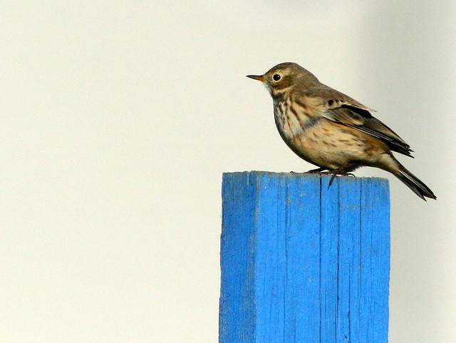 American Pipit 3-20101102