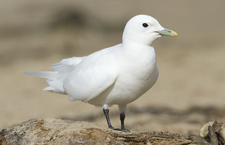 Ivory Gull, Pismo Beach, CA, 6 November 2010