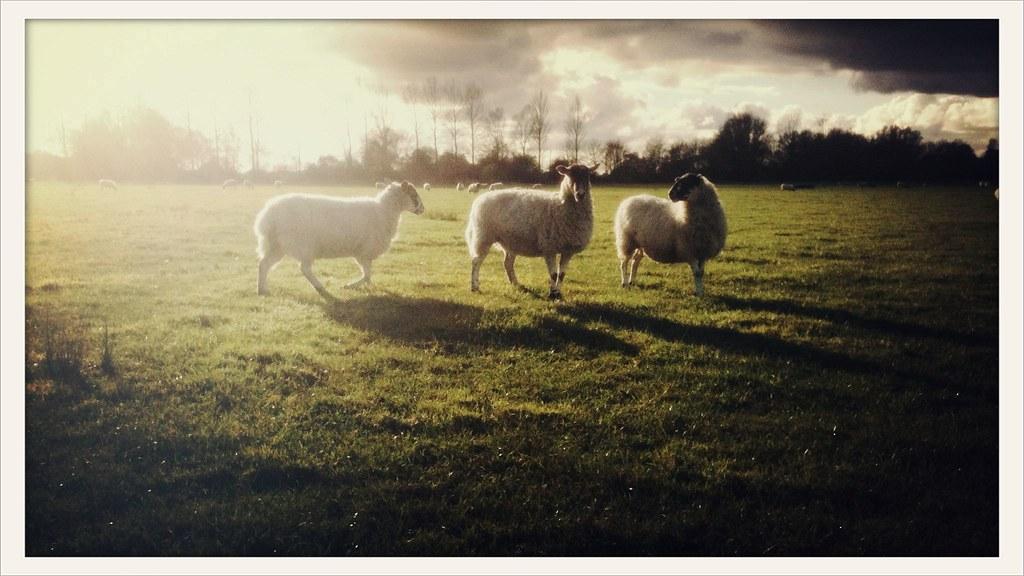 Ewe three
