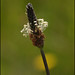 Plantago - Photo (c) Steve Chilton, some rights reserved (CC BY-NC-ND)