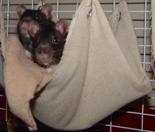 Rats in a Hammock