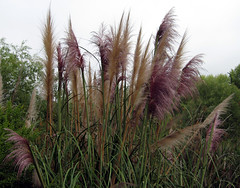 Fresh Pampas grass blossoms2