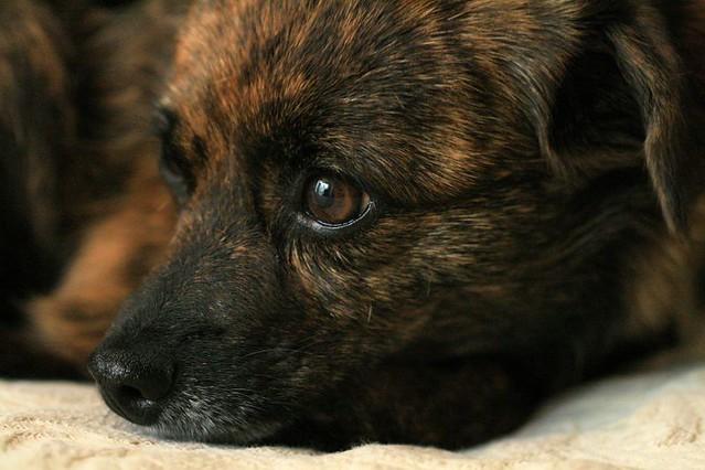 Tia Dog Rescue No Homecheck