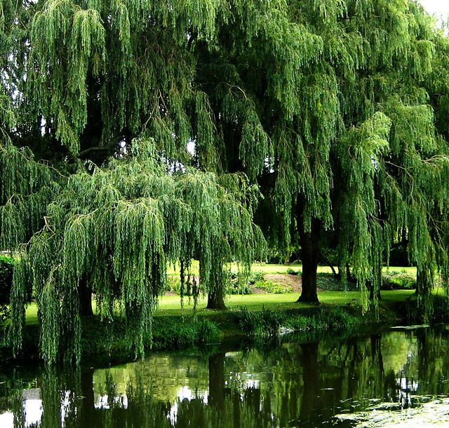 Willow trees : Flickr - Photo Sharing!